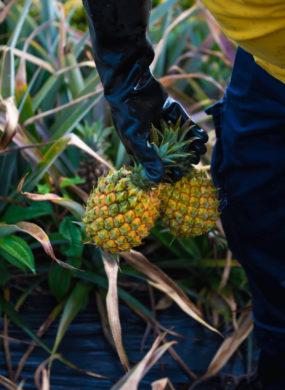 Producteur ananas Victoria