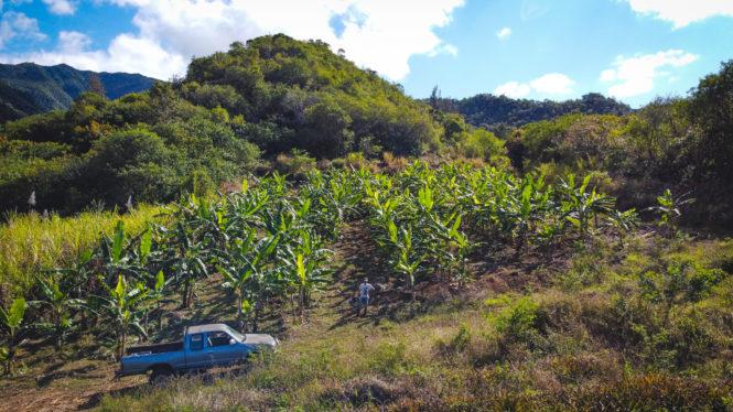 Producteur bananes mignonnes