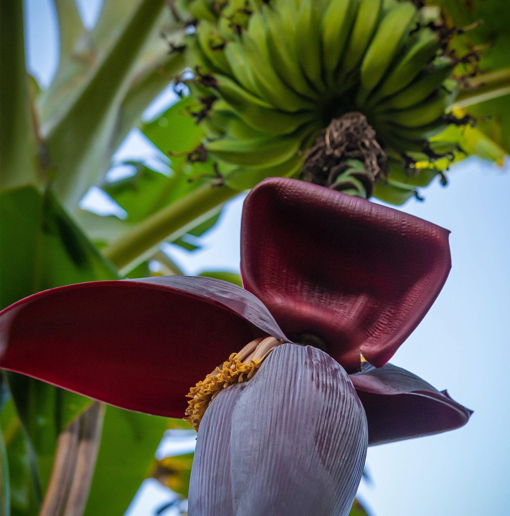 vis_art2-bananier